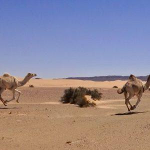 Course de chameaux dans le désert